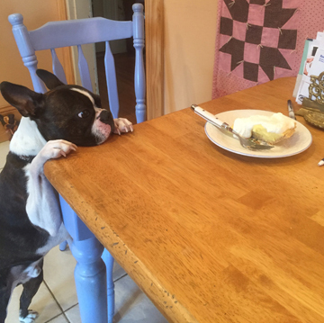 a Penny-like Boston Terrier eyes a piece of pie on a kitchen table