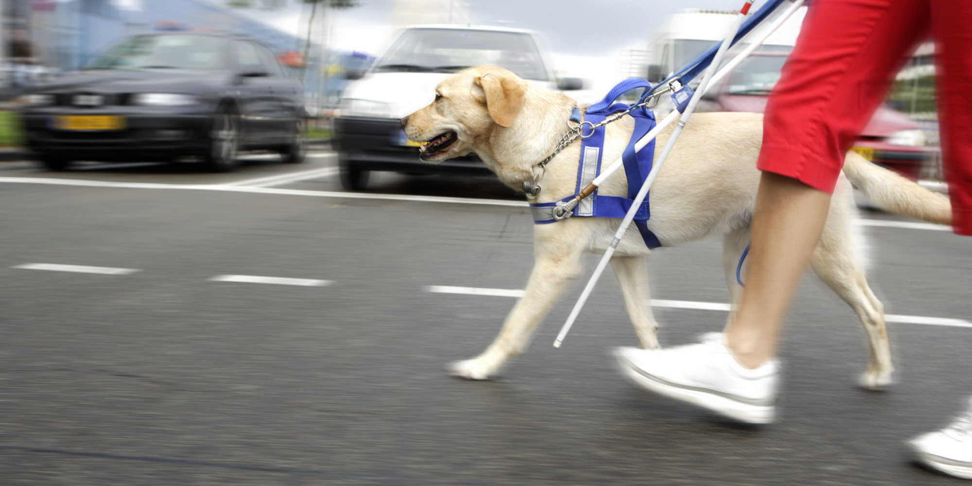 Guide dog leads person across busy street
