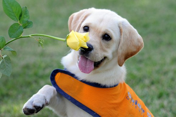 guide dog puppy with a yellow rose