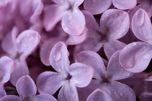 Photo of lilac blossoms.